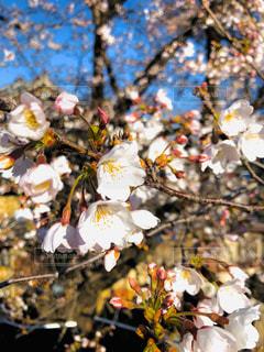 桜の写真・画像素材[3050918]