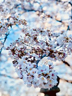 桜の花の写真・画像素材[3050919]