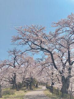 桜並木の写真・画像素材[3071683]