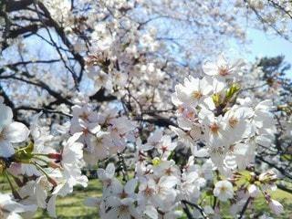 自然,公園,花,春,桜,屋外,晴れ,光,満開,樹木,お花見,イベント,たくさん,桜の花