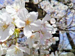 自然,花,春,桜,屋外,晴れ,光,満開,樹木,お花見,イベント,アップ,桜の花