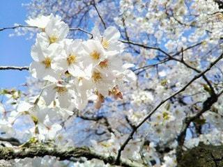 自然,空,花,春,桜,屋外,晴れ,青空,枝,光,満開,樹木,お花見,イベント,たくさん,桜の花