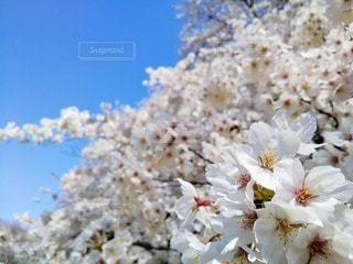 自然,空,花,春,桜,屋外,晴れ,青空,光,満開,樹木,お花見,イベント,たくさん,桜の花