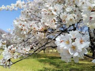 自然,空,公園,花,春,桜,芝生,屋外,晴れ,青空,満開,樹木,お花見,イベント,たくさん,桜の花