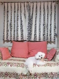 白い犬とソファの写真・画像素材[2473931]