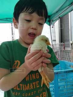 ひよこを抱いている小さな男の子の写真・画像素材[2941242]
