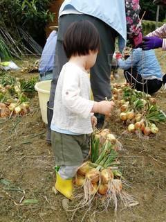 玉ねぎの収穫を手伝う2歳男児の写真・画像素材[2840109]