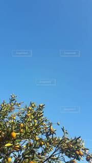 みかんの木のクローズアップの写真・画像素材[2986507]