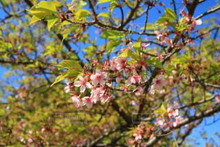 公園,花,春,桜,屋外,ピンク,樹木,3月,見沼自然公園