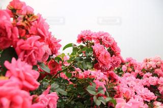 ピンクの花で満たされた花瓶の写真・画像素材[3301297]