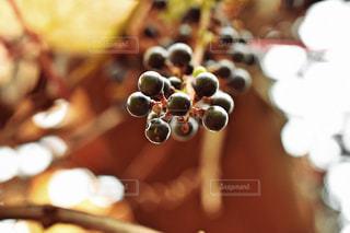 収穫の秋🍇の写真・画像素材[2497413]