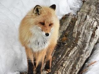 雪に覆われたキツネの写真・画像素材[2742549]
