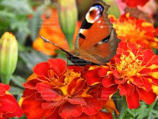孔雀蝶々とマリーゴールドの写真・画像素材[2836423]