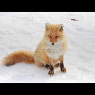 雪の中のキツネの写真・画像素材[2836793]