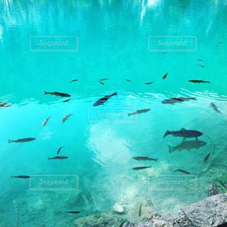 動物,魚,屋外,青,水面,世界遺産,泳ぐ,水中,旅行,海外旅行,クロアチア,プリトヴィツェ国立公園