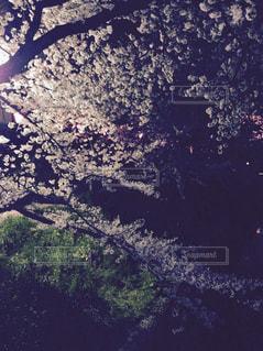 自然,桜,屋外,葉,夜桜,樹木,草木