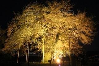 黄金の桜の写真・画像素材[2633417]