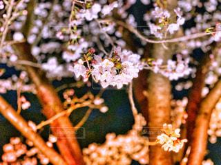 花,桜,夜,夜桜,晴,景観,草木,桜の木
