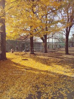 イチョウの黄色い絨毯の写真・画像素材[2569339]