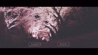 フィルム,フィルム写真,フィルムフォト,夜桜 夜