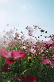 空,コスモス,花びら,フィルム,写ルンです,フィルム写真,そら,バカチョンカメラ,フィルムフォト