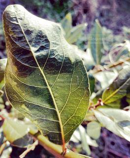 庭の月桂樹の写真・画像素材[2438753]
