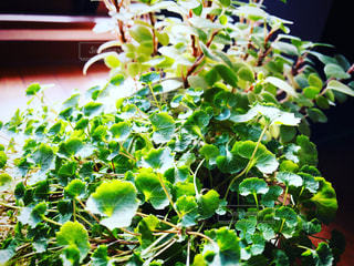 My favorite! Foliage plant 2の写真・画像素材[2728163]