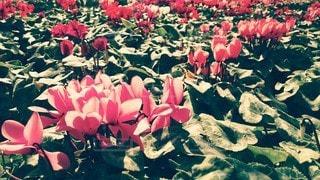 花,赤,景色,花びら,フィルム,フィルム写真,ブルーム,フィルムフォト