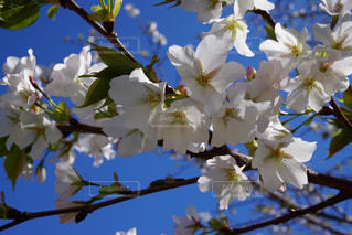 空,花,春,桜,白,青い空,樹木,クリア,草木,桜の花,さくら,ブルーム,ブロッサム