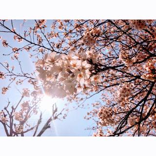 自然,空,花,春,桜,屋外,ピンク,太陽,かわいい,綺麗,光,樹木,ヒカリ,草木,桜の花,日中,さくら,ブロッサム