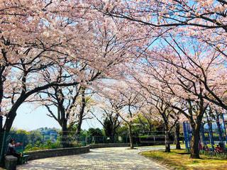 空,公園,花,春,桜,屋外,ピンク,綺麗,樹木,草木,桜の花,さくら,ブロッサム