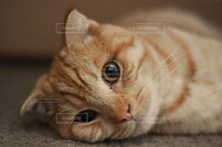 猫,動物,ペット,人物,ネコ,ネコ科の動物
