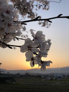 桜,太陽,朝焼け,フィルム,フィルム写真,さくら,フィルムフォト