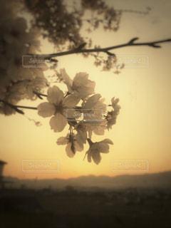 風景,空,桜,雲,夕暮れ,黄昏,フィルム,たそがれ,フィルム写真,さくら,フィルムフォト