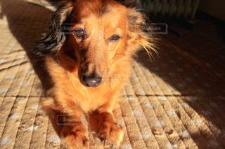 家族,犬,夕日,動物,屋内,かわいい,茶色,夕方,ペット,子犬,フィルム,フィルム写真,フィルムフォト