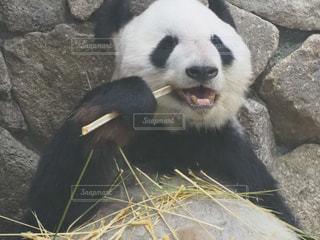 歯磨き中のパンダの写真・画像素材[2439985]