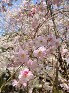 桜満開!の写真・画像素材[4321847]