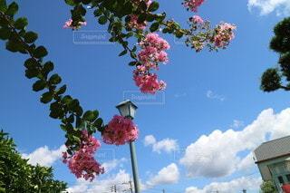 サルスベリと空の写真・画像素材[2443917]