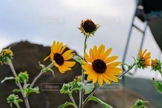 外で咲くひまわりの写真・画像素材[3564867]