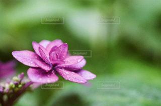 自然,花,紫陽花,film,flower,フィルム,梅雨,鎌倉,フィルム写真,マクロ,フィルムフォト
