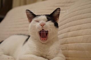 猫,動物,屋内,かわいい,ペット,ソファー,人物,あくび,座る,笑顔,キティ,ネコ,猫の日,ネコ科の動物