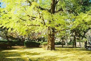 舞鶴公園のいちょうの写真・画像素材[4148174]