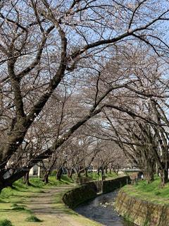 空,花,春,桜,景色,草,樹木,歩道,川沿い,さくら