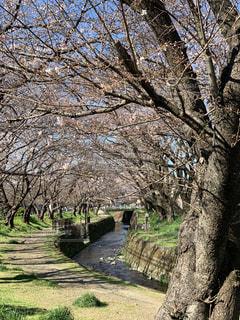 風景,空,花,春,桜,森林,屋外,樹木,草木,日中,さくら,川沿い桜