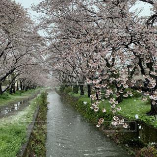 自然,花,春,雪,屋外,景色,樹木,桜の花,さくら,雪桜