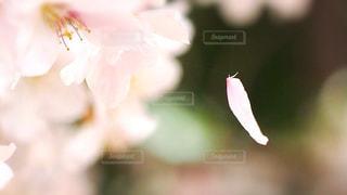 風景,公園,花,桜,ぼかし,草木,花弁,桜満開,ブルーム,ブロッサム,フローラ