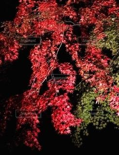鮮やかな赤い紅葉の写真・画像素材[2616717]