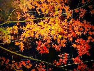 鮮やかな紅葉の写真・画像素材[2637703]