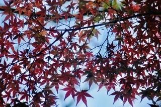 青空と紅葉の写真・画像素材[2646404]