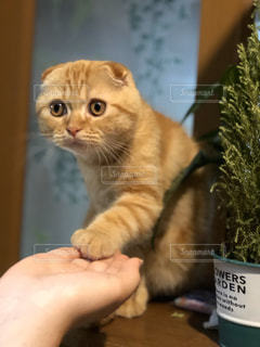 猫,動物,ペット,人物,お手,ネコ